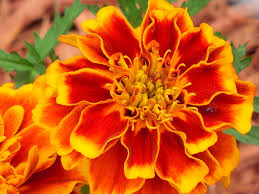 Free Photo Annual Marigold Plant Yellow Free Image On