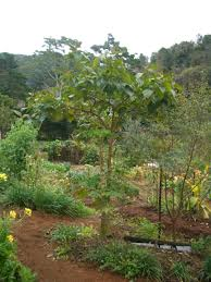Uses Of Kitchen Garden Permaculture Uses For Tamarillo Or Tree Tomato Kendall Permaculture