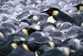 emperor penguin huddle.  Huddle Throughout Emperor Penguin Huddle