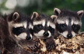 Baby Raccoon Age Chart How To Tell A Male From A Female Raccoon Animals Mom Me