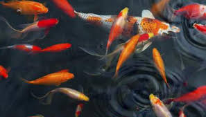 koi care for outside ponds by kristie karns everste istock getty images