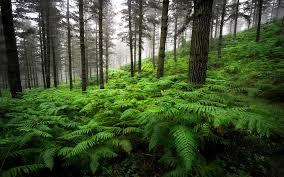 Landscape Forest Old Pine Trees ...