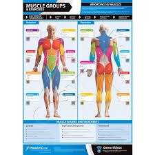 posterfit muscle groups exercise chart