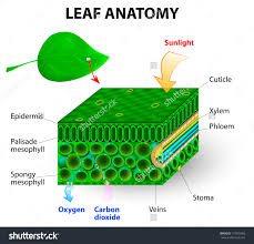 leaf anatomy vector diagram  photosynthesis  chlorophyll is the    save to a lightbox