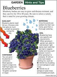 blueberry soil mix. Brilliant Mix Planting Blueberries Inside Blueberry Soil Mix E