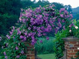 Fast Growing Climbers For Shade 15 Best Climbing Plants For Climbing Plant For Shade