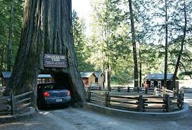 chandelier tree in the drive thru tree park chandelier drive through tree all you need to