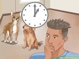 image led breed chihuahuas step 6