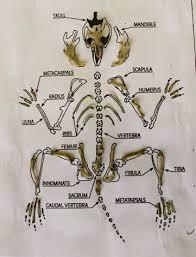 Owl Pellet Bone Chart Owl Pellet Dissection
