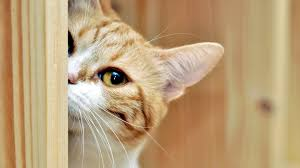 cats muzzle s pets wood cat wallpaper full screen for hd 16 9 high