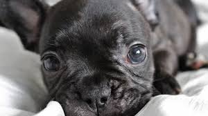 french bulldog puppies everything you