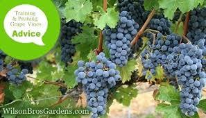 How To Prune Grape Nuancesalmahayek Co