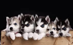 cute pitbull puppies wallpaper. Brilliant Cute 1839x2047 Wallpaper Of Baby Pitbulls Pitbull Puppies Cute U2013 The Cutest  With