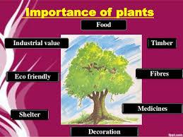 Importances Of Plants. Wheat Cereals provide us energy Cereals Maize .