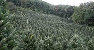 Fresh Cut Christmas Tree Farm