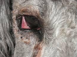 eye injury entropion raineye 060611 p0808 jpg