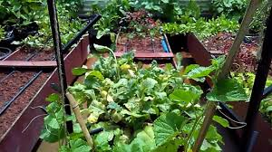 organic vegetable garden on roof top in bangalore by prakruthi landscape