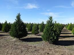 File:Hambrick's Christmas Tree Farm, Leyland Cypress Christmas ...