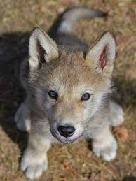 baby wolf so cute