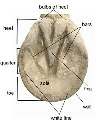 Horse Hoof Anatomy Inside And Out