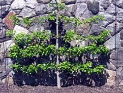 Robert Crum Of Idaho Wanted To Plant Fruit Trees Using The Growing Cordon Fruit Trees