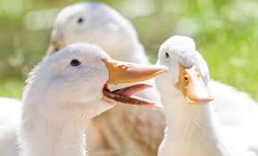 Different Kind Of Ducks Dartagnan
