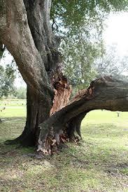 Tree Risk Assessment Gardening Solutions University Of