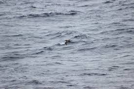 Image result for albatross above ocean