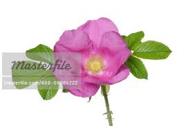 close up of rugosa rose rosa rugosa on a white background germany stock photo