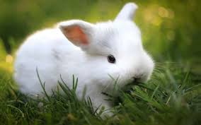 white rabbit wallpaper. Brilliant White Cute White Bunny Wallpaper 39765 In Animals  Teluserscom Inside Rabbit W