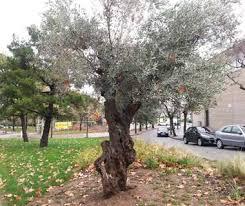 Resultado de imagen de olivo tronco retorcido
