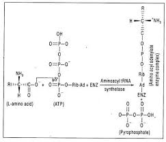 essay on protein synthesis biology this activated complex is a mixed anhydride in which the carboxyl group of the amino acid is linked to the phosphoryl group of amp