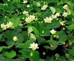 Lotus Flower Meaning And Symbolisms In Buddhism Hinduism