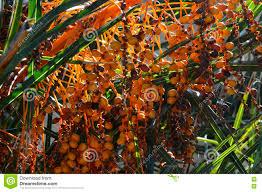 Palm Tree With Bunches Of Bright Orange Fruits Stock Photo Palm Tree Orange Fruit