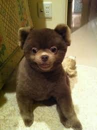 black pomeranian teddy bear cut. Fine Bear Pomeranian Haircut  Teddy Bear Cut Intended Black Teddy Bear Cut A