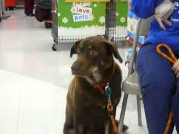 carly chocolate lab husky mix rover rescue