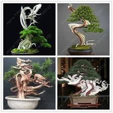 office bonsai. Image Is Loading 100-seeds-bag-juniper-bonsai-juniper-tree-potted- Office Bonsai 3