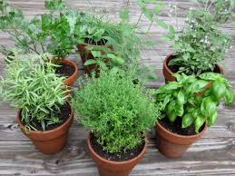 Small Picture Culinary Herbs