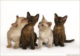 Burmese Kitten Weight Chart Cats Burmese Cats