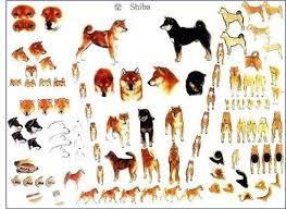 Shiba Inu Standard Shiba Inu Japanese Dogs Shiba