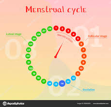 Menstrual Cycle Phases Chart Vector Diagram Female Menstrual Cycle Phases Female Cycle