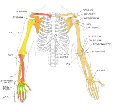 File Human Arm Bones Diagram Heb Svg Wikimedia Commons