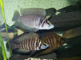 Small Picture 110 best Ciclids images on Pinterest African cichlids Malawi