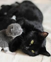 newborn gray kittens. Contemporary Gray Fur U0026 Feather Newborn Grey Kitten With Sleek Black Mama Cat Cats Kitten  Furandfeather Throughout Gray Kittens L