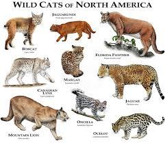 Wild <b>Cats</b> of North America Poster <b>Print</b> | Small wild <b>cats</b>, <b>Animals</b> ...