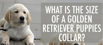 Puppy Collar Size Chart Golden Retriever Puppy Collar What Size To Get Type
