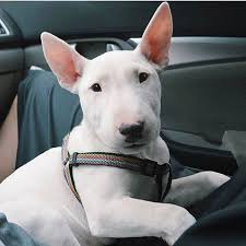 miniature bull terrier white. Brilliant Terrier Bull Terriers Pinterest White  Bull Terrier Dogs  Facts Personality U0026  Latest News About In Miniature White R