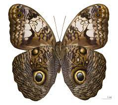 Caligo - Wikispecies