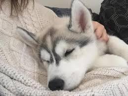 baby husky puppies tumblr. Beautiful Husky To Baby Husky Puppies Tumblr S