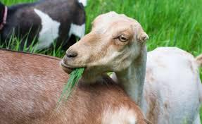 About Lamancha Goats Homestead Ranch Goat Milk